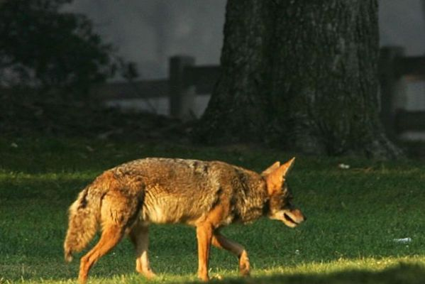 The Coyote: Our Urban Adaptor