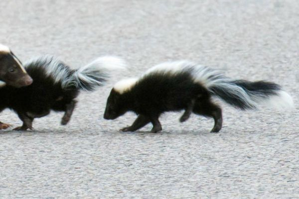 The Secret Life of Skunks