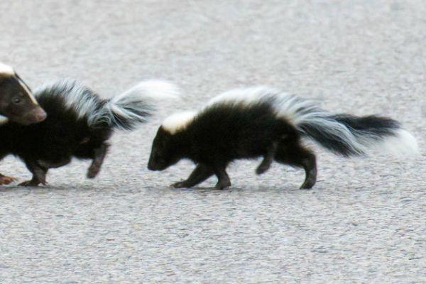 The Secret Life of Skunks